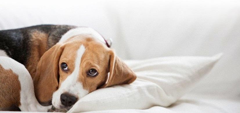 Cómo se transmite el parvovirus en perros