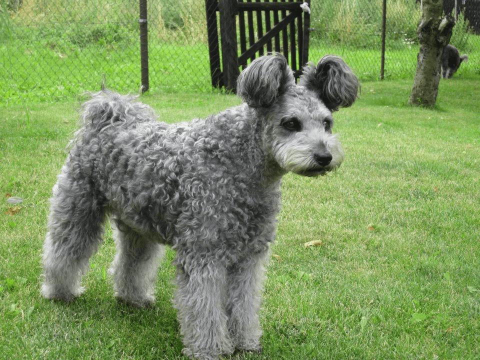 Carácter del perro pumi