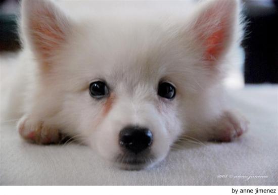 Carácter del perro spitz japonés