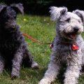 Características del perro pumi