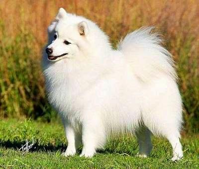 Características del perro spitz japonés