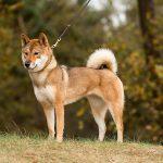 Conoce a la raza de perro japonesa shikoku inu