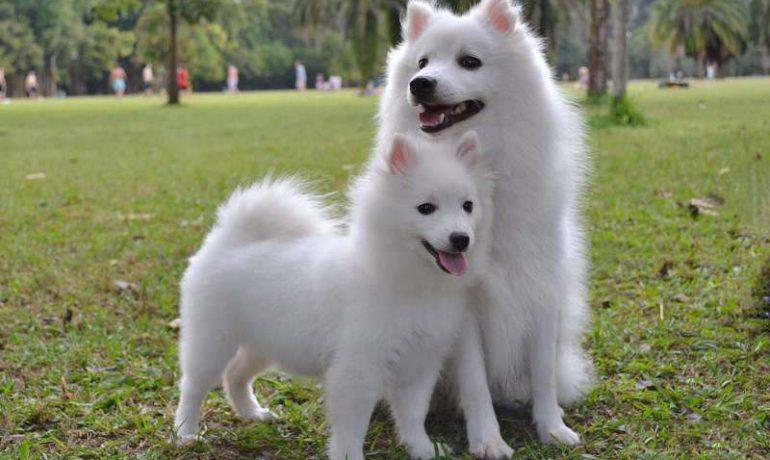 Conoce la raza de perro spitz japonés