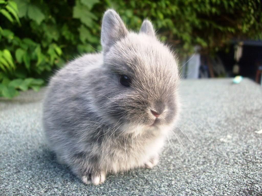 Consejos de alimentación del conejo enano como mascota