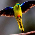 Consejos para adiestrar a un periquito papillero
