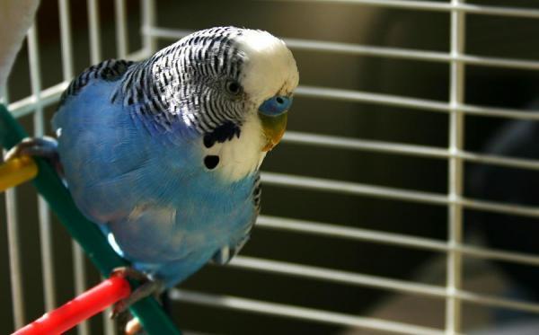 Consejos para adiestrar al periquito papillero