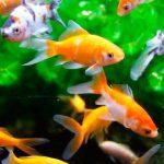 Consejos para el cuidado de peces