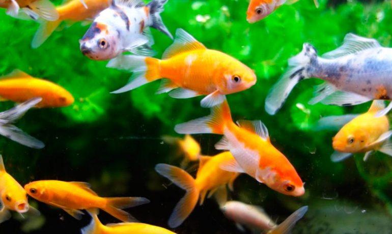 Consejos para el cuidado de peces te contamos qu for Cuidado de peces