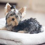 Convulsiones en perros