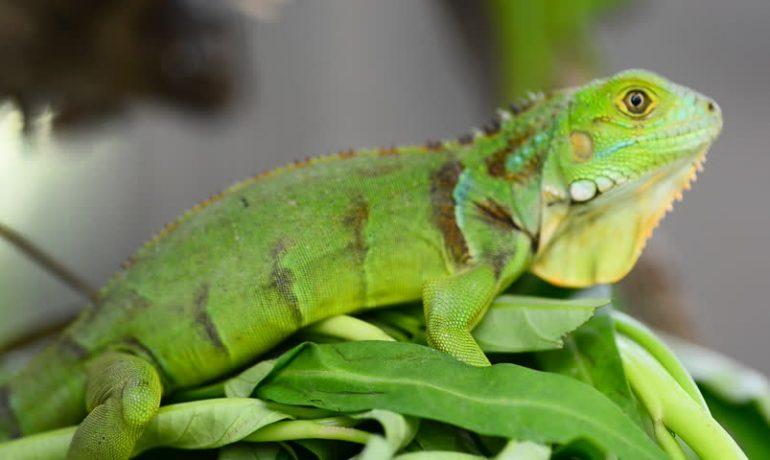 Cuál es el mejor alimento para iguanas verdes