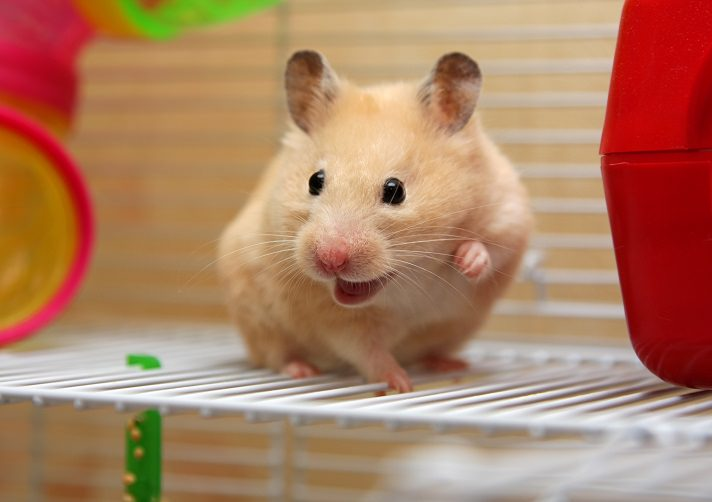hamster perdida de peso y ano irritado