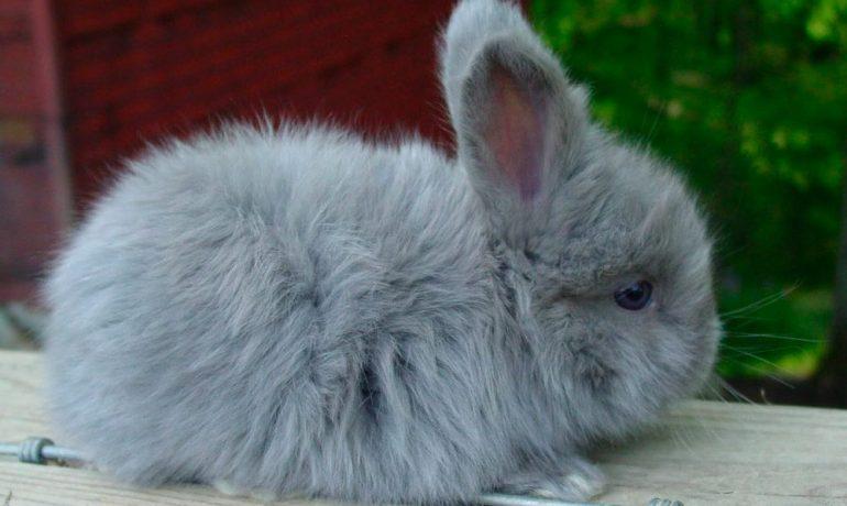 Cuáles son los cuidados de los conejos enanos
