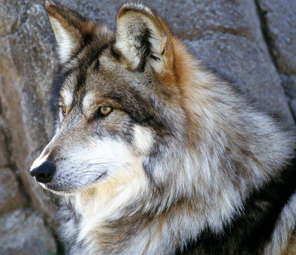 Cuánto comen los lobos
