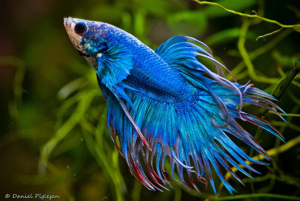 Cuidados para los peces tropicales en acuario for Peces tropicales