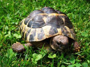 Cuidados de la tortuga de tierra