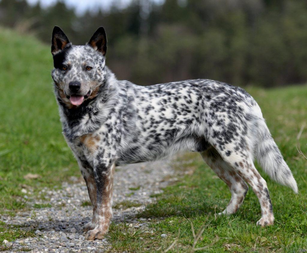 Cuidados del cattle dog australiano