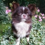 Curiosidades sobre la raza de perro chihuahua
