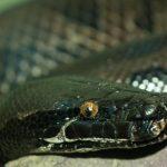 Descubre a la impresionante serpiente de 4 patas