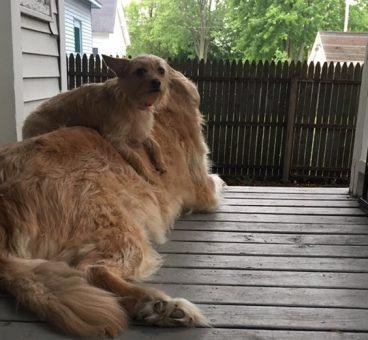 Descubre a la perrita que usa a su gran hermano para TODO
