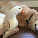 Descubre la bonita amistad entre un perro y un pato