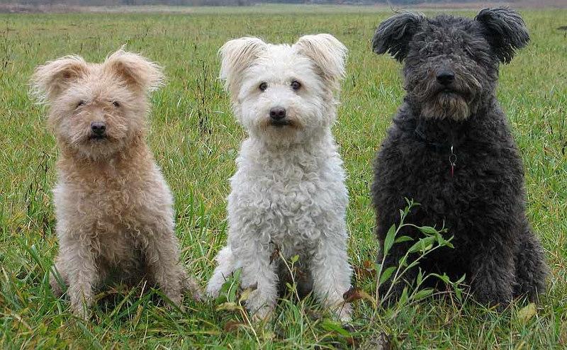 Descubre la raza de perro Pumi