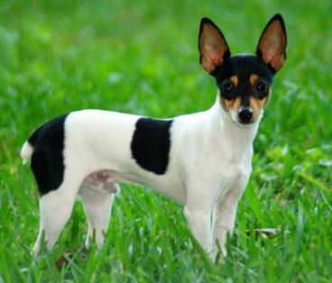 Descubre la raza de perro fox paulistinha o terrier brasileño