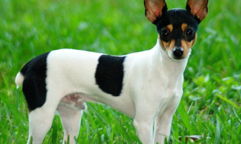 Fox terrier brasileno pelo corto