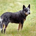 Descubre la raza del cattle dog australiano