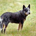 Descubre la raza del cattle dog australiano