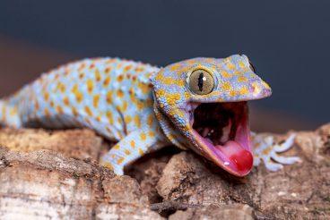Descubre todos los tipos de geckos que existen