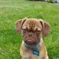 Earl el perro gruñón que parece estar siempre enfadado