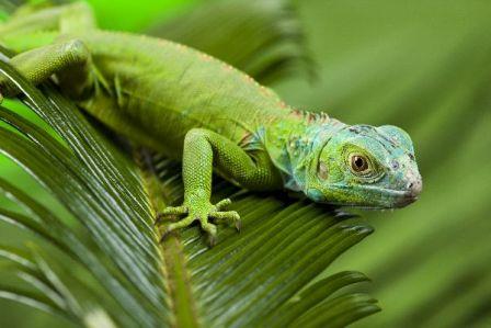 El mejor alimento para iguanas verdes