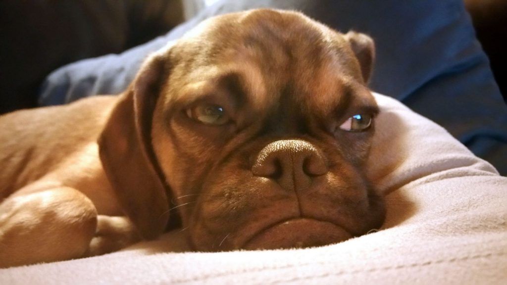 El perro que parece SIEMPRE enfadado