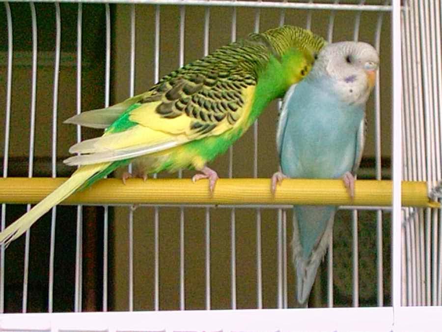 Elegir jaula para una pareja de periquitos