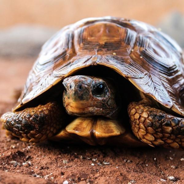 En qué basar la alimentación de la tortuga de tierra