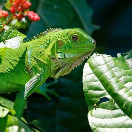En qué consiste la dieta de la iguana verde