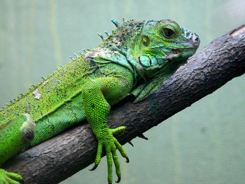 Frutas y verduras ideales para las iguanas