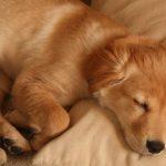 Herpesvirus en perros