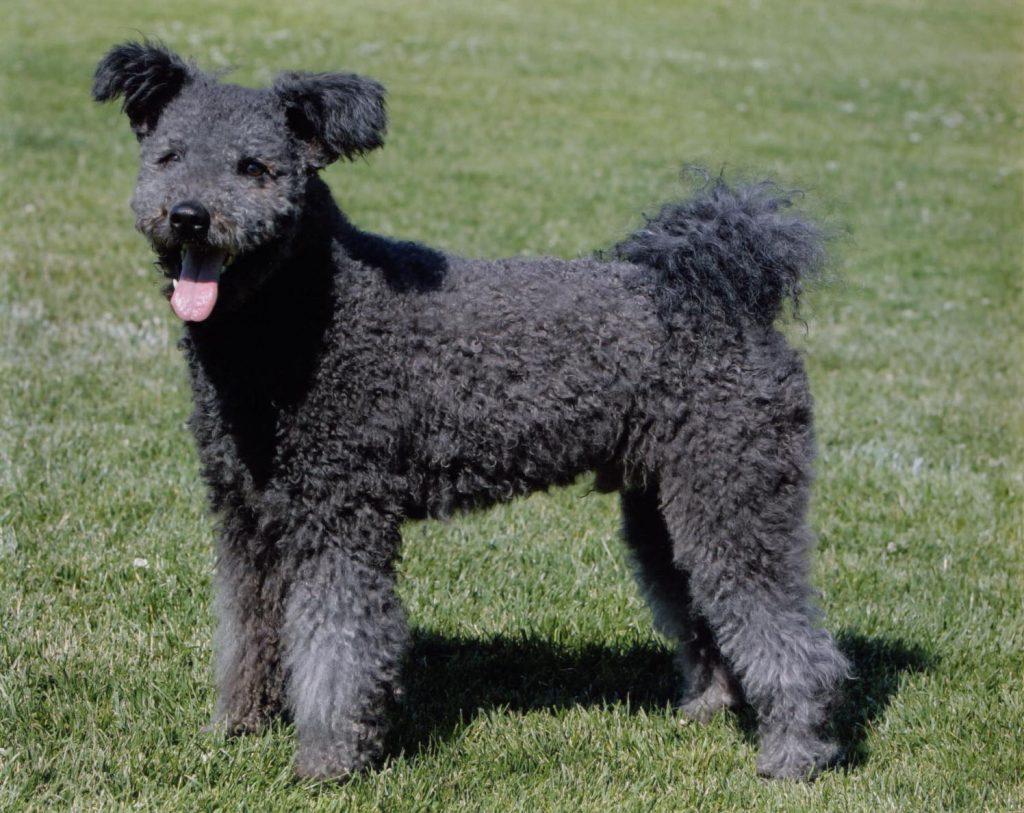 Historia de la raza de perro pumi