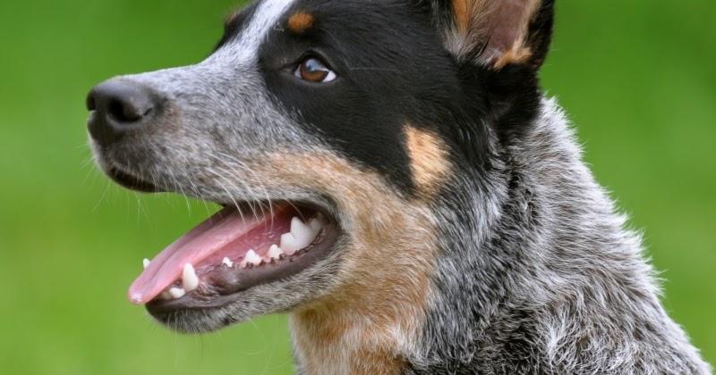 Historia del cattle dog australiano