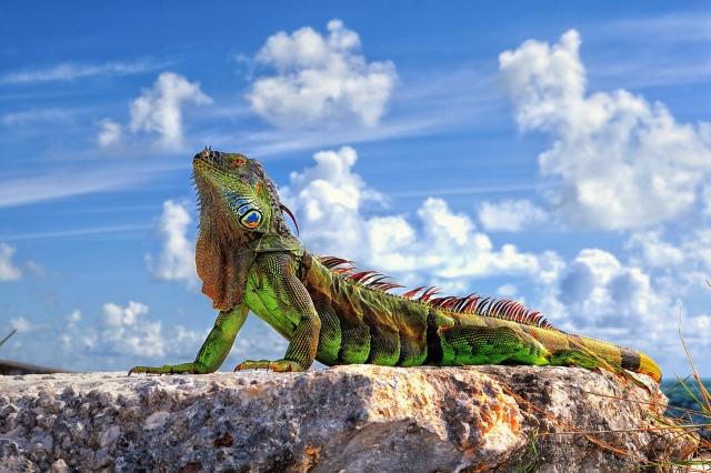 La alimentación de la iguana mascota