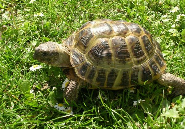 La alimentación de la tortuga de tierra