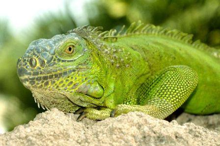 La dieta de la iguana verde