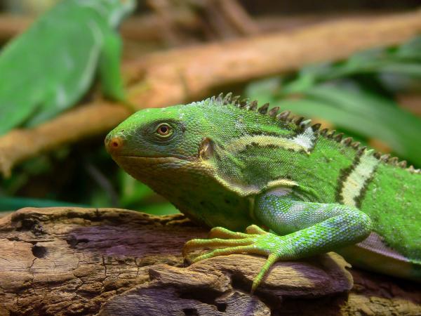 La iguana como mascota doméstica