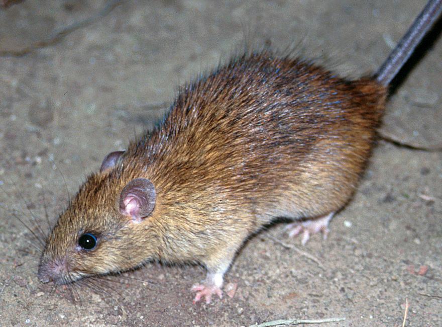 La jaula de las ratas