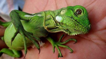 La mejor alimentación para iguanas bebé