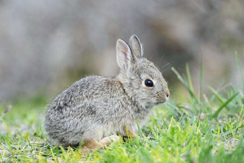La muda del pelaje en los conejos