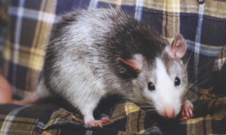 La rata como mascota