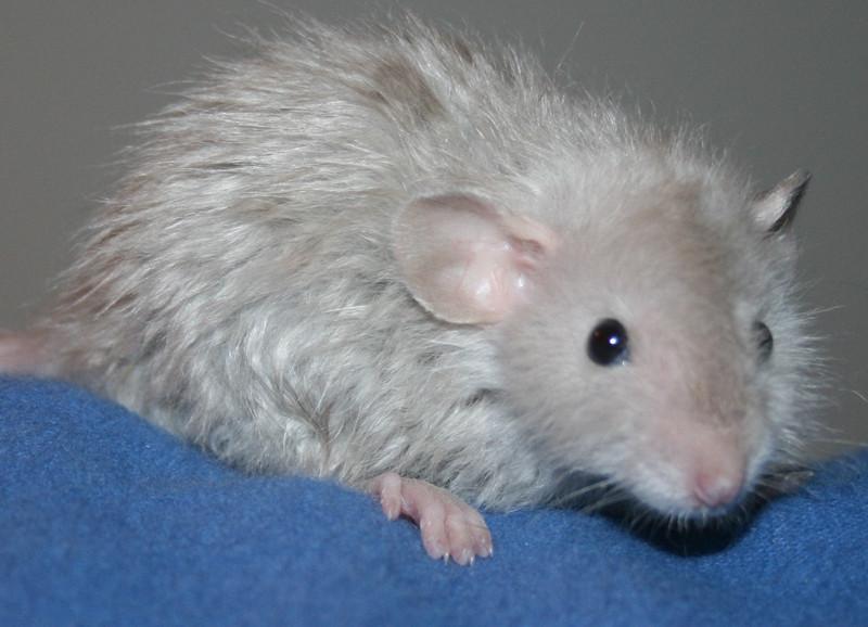 La salud de la rata mascota
