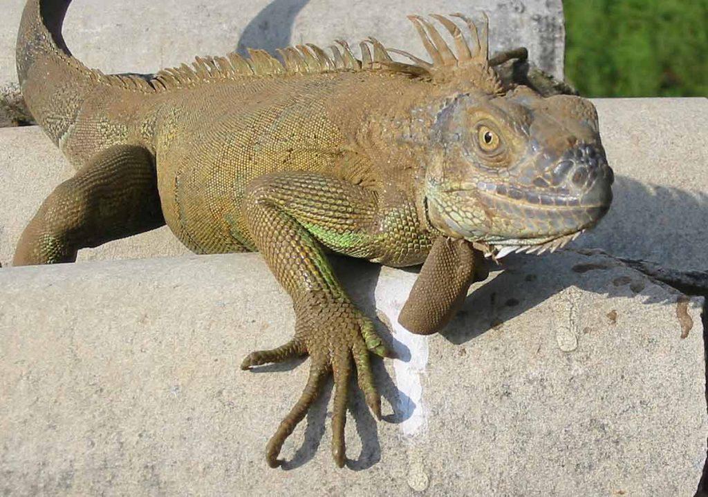La salud de las iguanas mascota